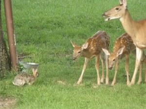 baby deer 2011 003